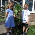 Melbourne Infant School picking veg July 17 DSC02940